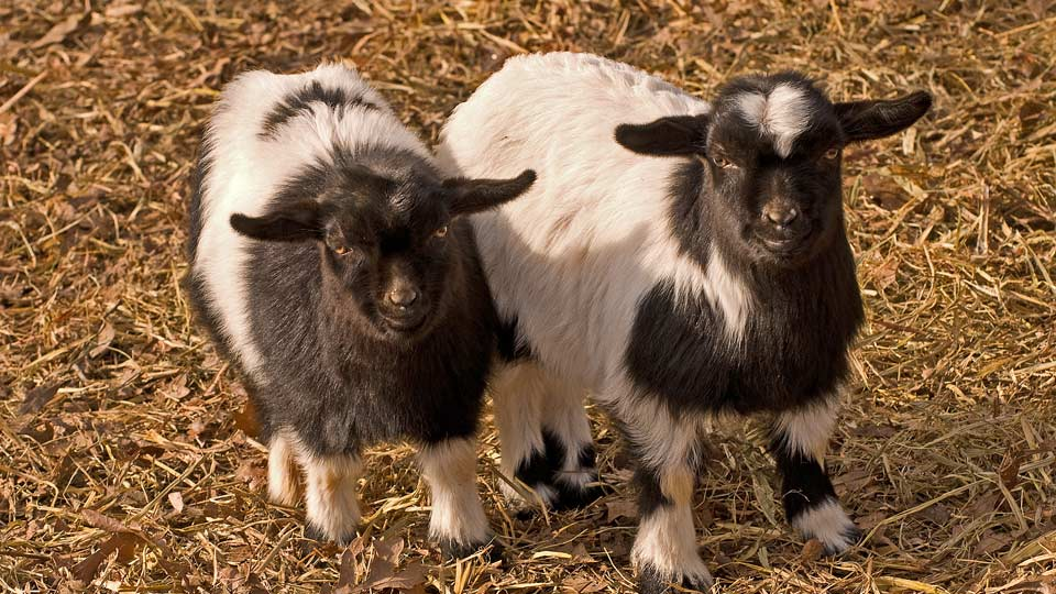 Why Breed Fainting Goats?