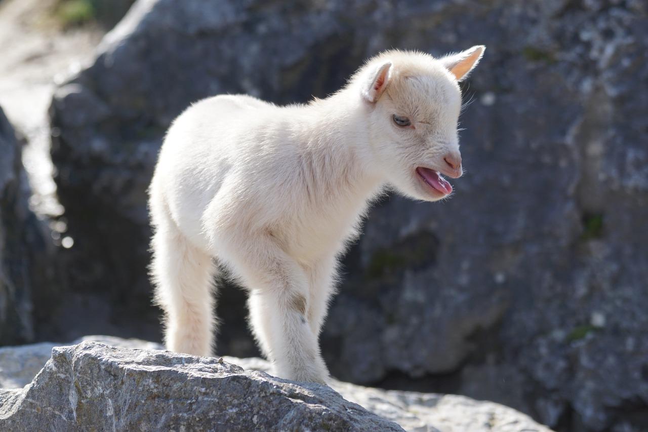 Fainting Goat Cashmere Production