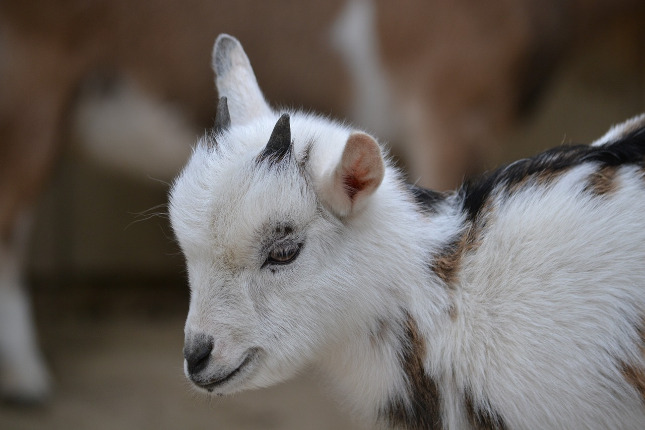 Paperwork for Buying Fainting Goats